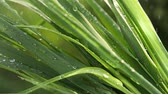 pingos de chuva : Grass in the rain Stock Footage
