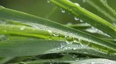 taze : Green grass in nature with raindrops