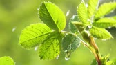 molhado : Green leaf with raindrops in the summer in nature develops in the wind