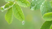 soyut : Green leaf with raindrops in the summer in nature develops in the wind