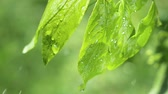 rosa : Green leaf with raindrops in the summer in nature develops in the wind