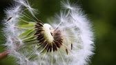 semente : Dandelion in the field