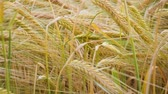 ähren : Rye spikelets in a field in summer