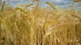 oido : Rye spikelets in a field in summer