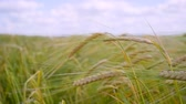 rozs : Rye spikelets in a field in summer