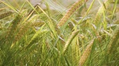 colheita : Rye spikelets in a field in summer