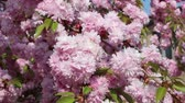 cherry blossom branch : Branches of blooming pink sakura (flowering cherry) swaying on the wind in spring Stock Footage