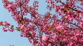 известный : Branches of blooming pink sakura (flowering cherry) swaying on the wind in spring Стоковые видеозаписи