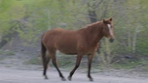 horse gait : horses on the road in village