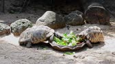 tartaruga : Giant tortoise eating vegetable that are in the tray
