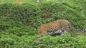 respeito : Leopard playing walking in forest