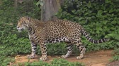 kotki : Leopard playing walking in forest