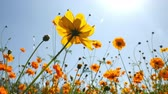 デイジー : Yellow Sulfur Cosmos Flower Blooming in a Garden Background Sunlight and Blue Sky
