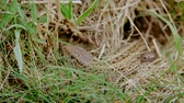A brown common lizard who hides in grass near the their hole Wideo