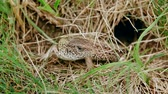 Common lizard who hides in grass near the their hole