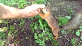 Little squirrel is looking for food in the hands of people in the forest