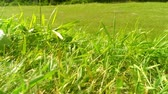 green grass in a wind in the field outdoor