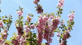 cherry blossom branch : Beautiful nature scene with blooming pink sakura tree branch. Japanese garden, spring sunny day. Cherry sakura spring flowers. Spring blossom background Stock Footage