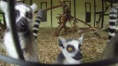 catta : Group of Madagascar Mongoose Ring-tailed Lemurs (Lemur catta) crawling on the cage fence and looking in the action camera