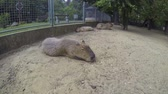 south american : Big brown capybaras, biggest rodents, sleeping outdoors on a cloudy summer day