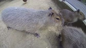 barna : Big brown capybaras, biggest rodents, walking outdoors in a sunny summer day and sniffing the action camera