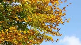 faia : Golden autumn leaves waving on the wind. Colorful Leaves. Trees in autumn forest. Autumn Scene footage Vídeos