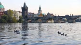 hattyú : Swans on Vltava river in Prague, Czech Republic. Charles Bridge on the background. FullHD video