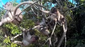 fascicularis : monkeys hang on a branch and camera