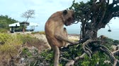cabeludo : Monkey sits on a tree Stock Footage