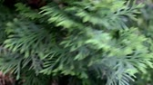 cedro : The close up of green thuja is moving in the wind Vídeos