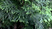 The close up of green thuja is moving in the wind Vídeos