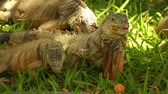 puerto vallarta : Iguanas Eating Stock Footage