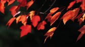 clorofila : Autumn maples leaves in vibrant reddish tones blow gently in dappled sunlight with a dark background behind. Looping. Vídeos