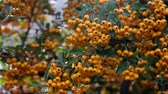 Yellow berries of orange color sways from wind on branch Стоковые видеозаписи