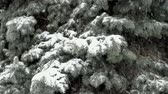 Blizzard covered with snow blue spruce Стоковые видеозаписи