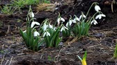Snowdrops gently sways flower heads from the wind Стоковые видеозаписи