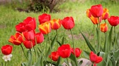 Blossoming tulips on flowerbed in April