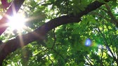 Sun shines through the branches of oak. Month May, lush foliage