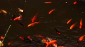 temas animais : Koi carp fishes swimming in the pond