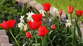 Клумба : Blooming tulips and flowers in flowerbed in spring