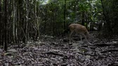 оленьи рога : A small white tailed deer stands in the middle of a caribbean jungle and looks for food. Стоковые видеозаписи