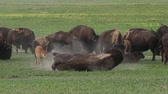 búfalo : Bison Walks in Front of Herd in summer field