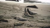 引数 : Male Elephant Seals Crawl on Beach while monitoring his competition