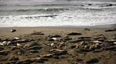 Waves Crash While Elephant Seals Sleep along Pacific Coast