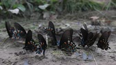 Multiple Types of Butterflies in Dry Mud Puddle 動画素材