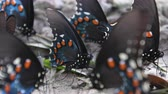 Pipevine Swallowtail Butterfly Close Up 動画素材