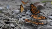 Silvery Checkerspot Butterflies In Drying Mud Puddle in Late Summer