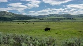 vallata : Bison Grazing Close in green field