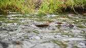 yellowstone : Brightly Colored Trout Fight For Position in mountain stream Stock Footage