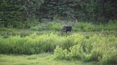 sauce : Bull Moose Grazes in Willow in Montana Wilderness
